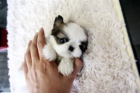 white teacup shih tzu puppies adorable teacup shih tzu puppy a photo on flickriver