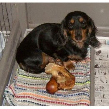 dachshund puppies iowa mini dachshunds dachshund breeder in lucas iowa listing id 11805 breeds picture
