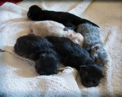 gatti persiani prezzi cuccioli di persiano da allevatori italiani