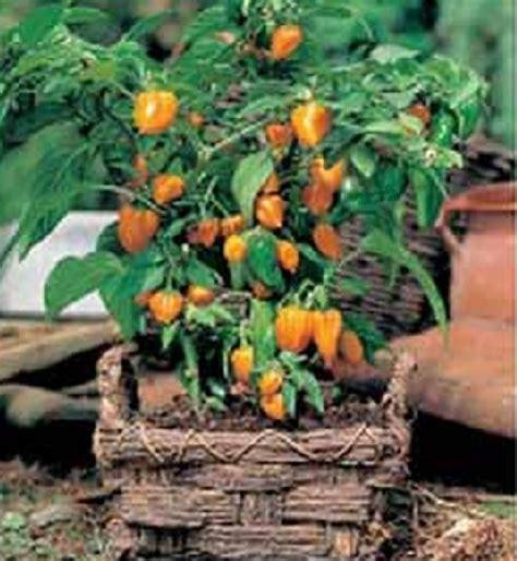 Benih Pohon Paprika benih paprika orange baby