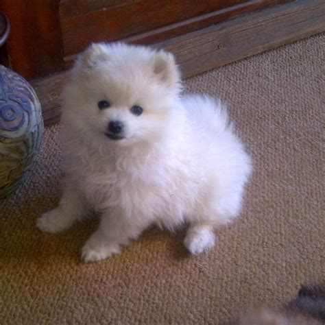 pomeranian x maltese puppies 17 best ideas about pomeranian mix on dogs adorable puppies and
