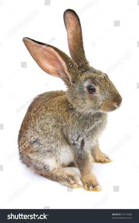 white rabbit new year happy new year rabbit isolated on stock photo 67314208