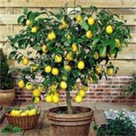 terriccio per limoni in vaso il limone consigli estivi per la coltivazione degli agrumi