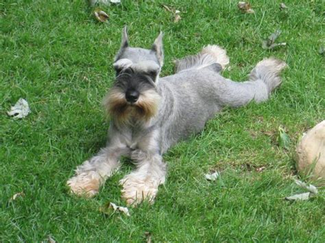 miniature schnauzer hair styles pictures schnauzer haircuts pictures newhairstylesformen2014 com