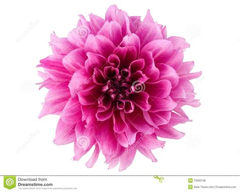 peony flower stock photo image of decorative white