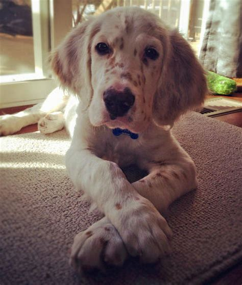 setter dog puppy gunster the english setter puppies daily puppy