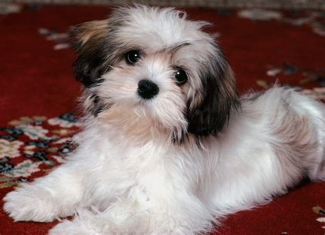 lhasa puppy lovely lhasa apso photo and wallpaper beautiful lovely lhasa apso pictures
