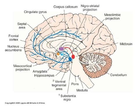 cross section of the human brain cross section diagram of the brain your brain on blast