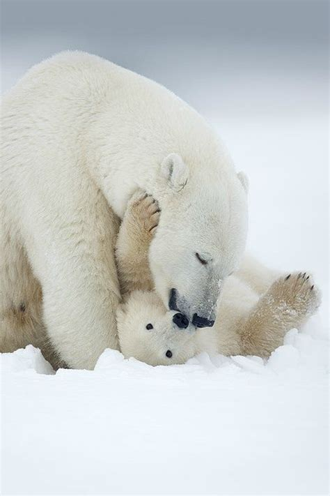 1000 Images About Arctic Animals - 1000 images about polar bears on