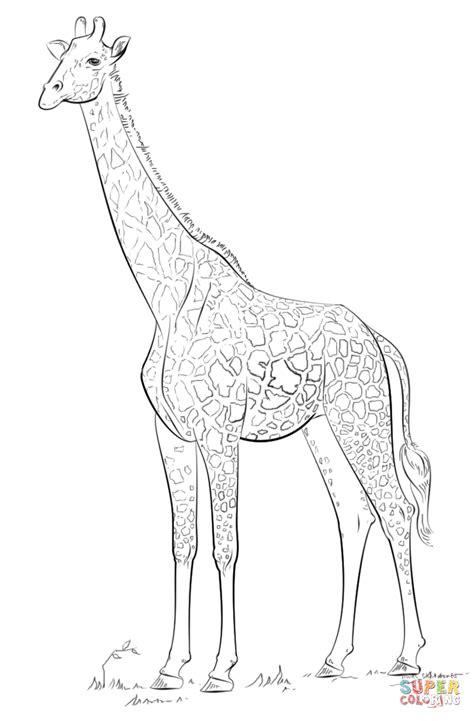 giraffe habitat coloring pages masai giraffe coloring page free printable coloring pages