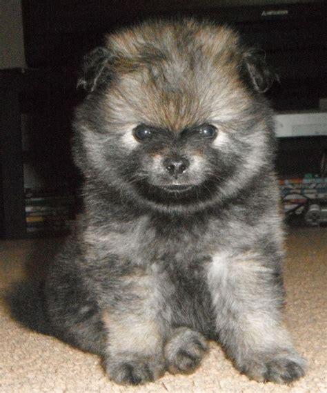 how big do teacup pomeranians get bluesteel puppy pomeranian pom friendzy posts puppys and pomeranians