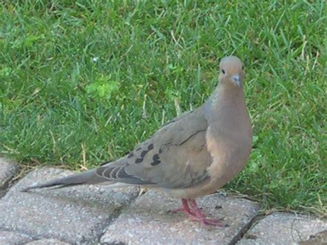 morning dove my bird feeder pinterest