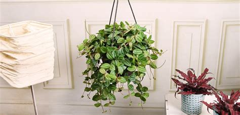 Tanaman Hias Tradescantia Silver tanaman hias peperomia argyreia daftar harga terupdate