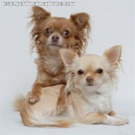haired chihuahua puppies haired chihuahua puppies for sale