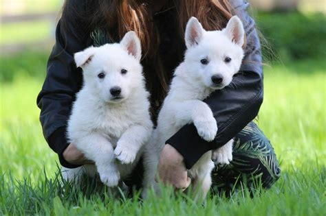 white shepherd puppies for sale white swiss shepherd puppies for sale