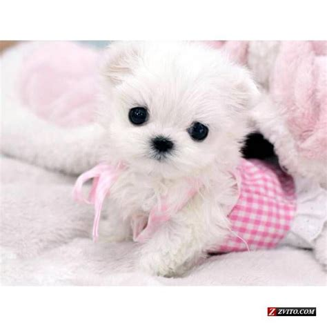 micro teacup maltese puppies for sale micro teacup maltese puppies tiny teacup maltese puppy for sale bellevue animals