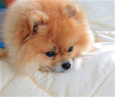 pomeranian has diarrhea vomiting yellow bile and bloody diarrhea a puppy not to bite what