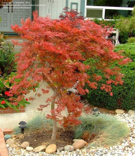 maple tree zone 6 plantfiles pictures cutleaf japanese maple threadleaf japanese maple orangeola acer