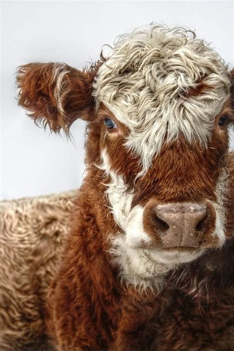 Iv Lovely lovely cow heifers iv by eelhsa photography on