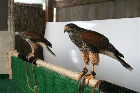 ask help to tether a cast of hh in front of tv falconry