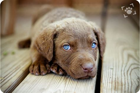 chesapeake bay puppies chesapeake bay retriever dogs pictures photos pics breeds picture