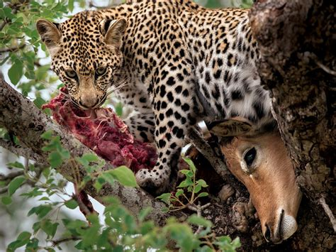 s leopard image gallery leopard