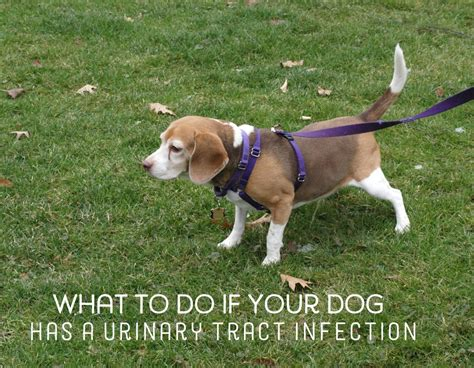 urinary tract infection in dogs home remedies for dogs with urinary tract infections