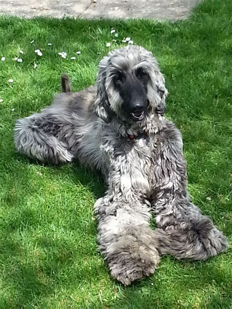afghan hound puppy pedigree afghan hound puppies for sale emsworth hshire pets4homes
