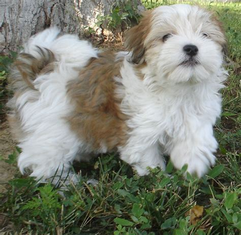 havanese breed gallery puppy pictures