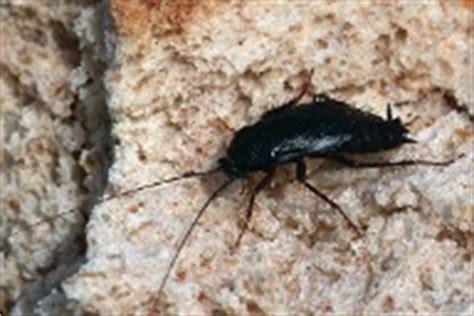 kakerlaken im garten sch 228 dlinge maden ameisen und kakerlaken bek 228 mpfen
