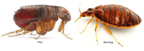 flea vs bed bug best flea control method information you need to find the