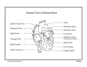 anatomical heart coloring page anatomical heart coloring page az coloring pages