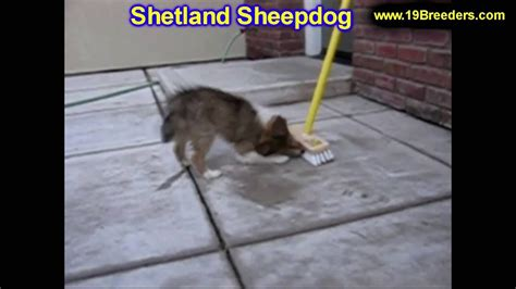 dogs for sale in alaska shetland sheepdog puppies dogs for sale in anchorage alaska ak 19breeders