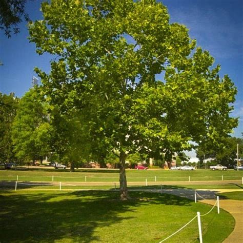 american sycamore buy american sycamore trees online the tree center