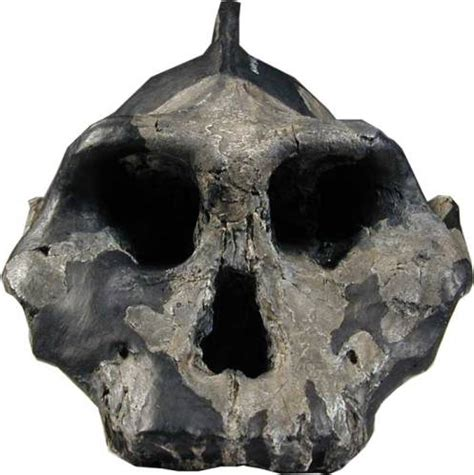 the black skull australopithecus aethiopicus mask anthropology net