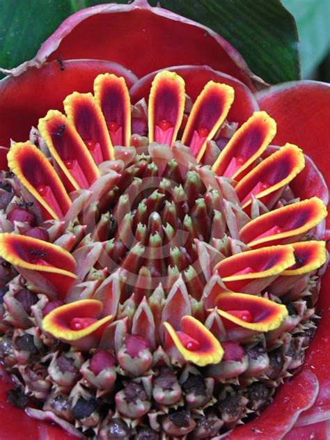 etlingera elatior torch ginger grand turmeric