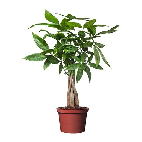 potted plants pachira aquatica potted plant ikea