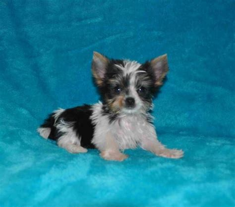 yorkie on sale 25 best ideas about parti yorkies for sale on yorkie dogs for sale