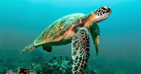 Turtle Sea best of nature why do sea turtles cry when they lay their