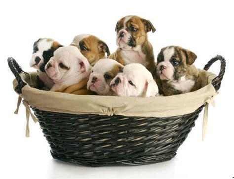 alimentazione bulldog inglese cucciolo bulldog inglese tutto su carattere allevamento