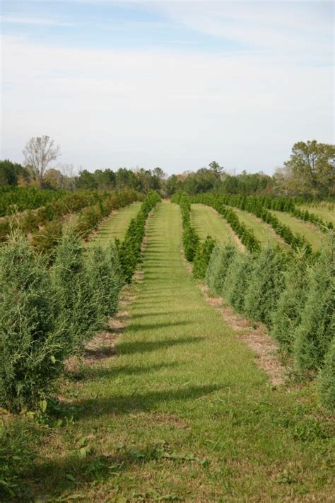 28 best louisiana christmas tree farms pin by bobbie
