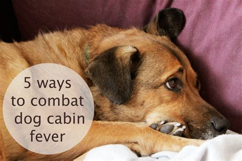 can dogs get fevers 5 ways to combat cabin fever