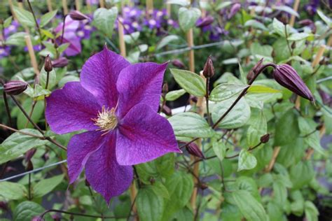 climbing plants india clematis of india clematis climbing plants