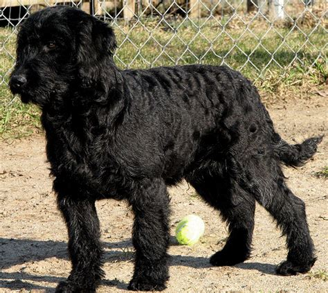 black labradoodle puppies for sale labradoodles for sale styles gen18blg gif 537 215 480 pixels favourite breeds of