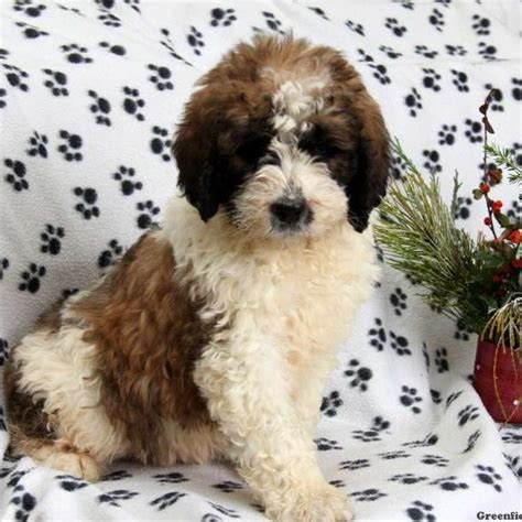 berdoodle puppies for sale berdoodle puppies for sale in pa