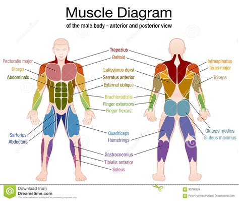 human muscles diagram human diagram detailed driverlayer search engine