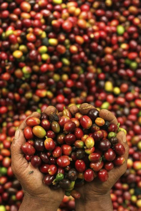 The Coffee Bean Indonesia indonesia is projected to produce 12 million bags of coffee likely to drive low global prices