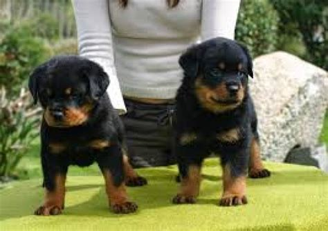 top quality rottweiler puppies top quality rottweiler puppies offer