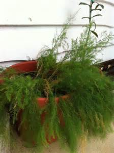 asparagus container gardening 301 moved permanently