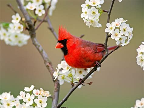 beautful cardinal wallpaper wild birds wild animal and